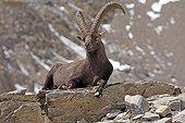 Ibex lying on a rock Ecrins Alps France