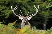 Red deer in a clearing Normandy France