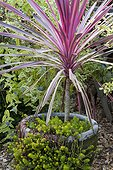 Cabbage tree 'Pink Passion' and stonecrop 'Angelina'