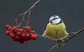 Blue Tit on a branch and berries Utö Finland
