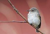 Spotted Flycatcher on a branch Utö Finland