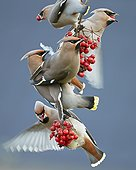 Bohemian Waxwings eating berries Utö Finland