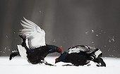 Black grouses male fighting in snow Kuusamo Finland