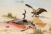 Vautour africain et cadavre de Grand Koudou Pan d'Etosha