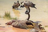 Vautours africains et cadavre de Grand Koudou Pan d'Etosha