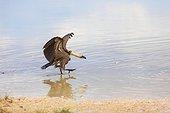 Vautour africain marchant dans l'eau du Pan d'Etosha Namibie