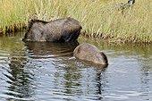 Elans d'Alaska se nourrissant dans l'eau Alaska USA ; Le plus grand des élans (jusqu'à 800 kg pour les mâles)