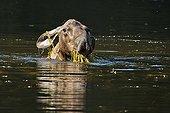 Elan d'Alaska se nourrissant  d'algue dans l'eau Alaska USA ; Le plus grand des élans (jusqu'à 800 kg pour les mâles)