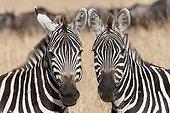 Portrait of Burchell's Zebras Serengeti NP Tanzania