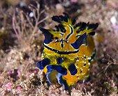 Tiger Nudibranch Sea of Cortez Baja California Mexico