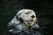 Sea otter - California
