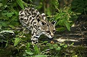 Spotted cat