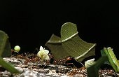 Leaf-cutting ants - Costa Rica