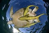 Green sea turtle and Remoras Akumal Bay Yucatan Mexico