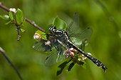 Club-tailed Dragonfly in June Vrangeskov Denmark