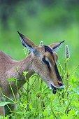 Impala female eating green plants Namibia