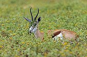 Springbok with plants hanging in the horns Namibie