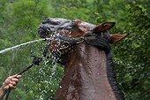 Douche d'un cheval de selle dans un pré en été Pyrénées