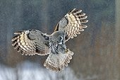Great grey owl about to land Oulu Finland