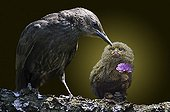 Common Starling and Pygmy marmoset on a branch