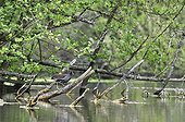Gallinule poule d'eau sur une branche d'Aulne glutineux