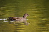 Young Moorhen swimming on a pond France
