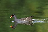 Moorhen swimming on a pond France