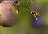 Common Wasp (Vespula vulgaris) flying around plum If you have fruit trees wasps are deemed pests, otherwise they are considered beneficial insects. Sussex, England, UK.
