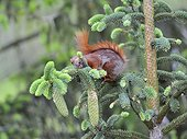 Red squirrel licking Spruce needles in a garden France