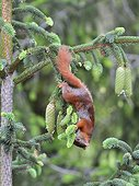 Red squirrel smelling Spruce needles in a garden France