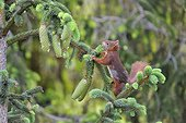 Red squirrel cutting a Spruce branch in a garden France