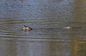 Otter having caught an eel in a river at spring GB