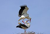 Courtship behaviour of White storks Normandy France