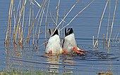 Mallard ducks diving head in water Normandy