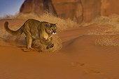 Mountain Lion running in sand Monument Valley USA