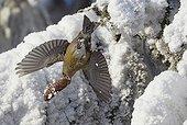 Common crossbill carrying a cone in its beak Kuusamo