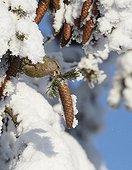 Common crossbill picking a cone Kuusamo