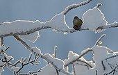 Common crossbill on a branch Kuusamo