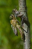 Emergence d'une Cordulie bronzée Danemark ; Métamorphose incomplète
