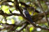 Colibri vert et gris sur une branche Espirito Santo Brésil