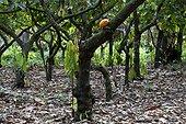 Plantation de Cacao Espiritu Santo Brésil