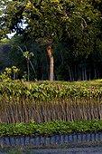 Pépinière forestière d'espèces locales Vale Linhares Brésil