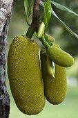 Jackfruit fruit on the tree Esperitu Santo Brazil