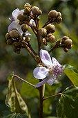 Fleurs de Roucouyer Espirito Santo Brésil