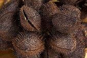 Fruits secs de Roucouyer Espirito Santo Brésil