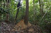 Forêt Atlantique Réserve Vale Linhares Espirito Santo Brésil