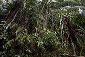 Forêt Atlantique d'altitude Espirito Santo Brésil ; Altitude : 1100 m