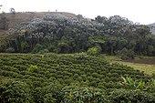 Plantation de Café robusta Espirito Santo Brésil