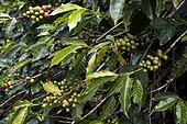 Fruits de Café Robusta sur caféier Espirito Santo Brésil