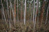 Plantation d'Eucalyptus Espirito Santo Brésil